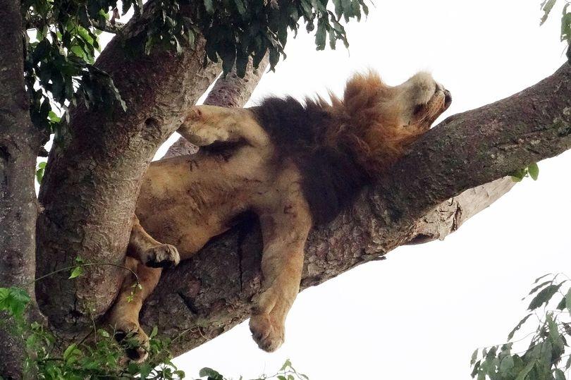 Sư tử trèo cây tài tình, nằm phè phỡn trên cao vì… sợ côn trùng - 1