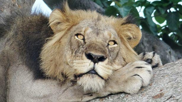 Sư tử trèo cây tài tình, nằm phè phỡn trên cao vì… sợ côn trùng - 4