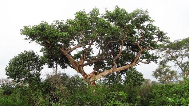 Sư tử trèo cây tài tình, nằm phè phỡn trên cao vì… sợ côn trùng - 5