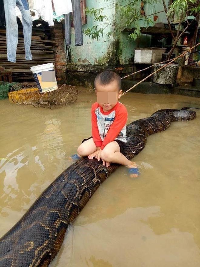 Clip bé trai cưỡi trăn khủng giữa nước ngập: Bất ngờ thông tin từ chủ nhân con trăn - Ảnh 1.
