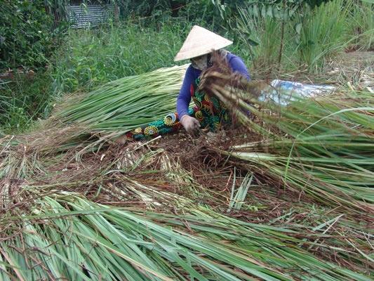Giá sả rớt kỷ lục còn 2.000 đồng/kg, nông dân đốt bỏ cả vườn - 1