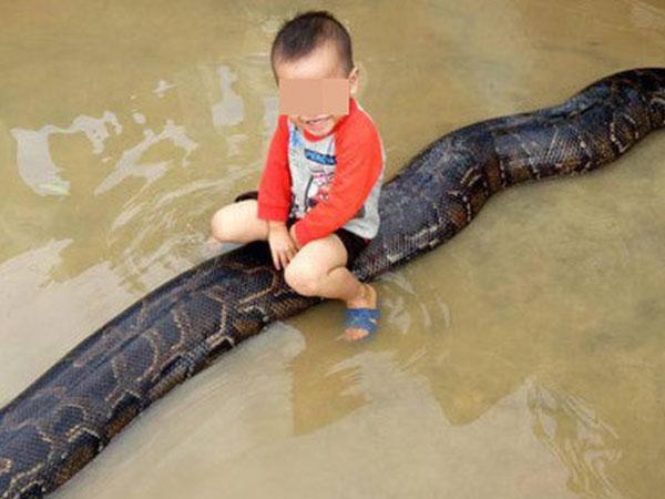 Clip bé trai cưỡi trăn khủng giữa nước ngập: Hạt kiểm lâm lập biên bản