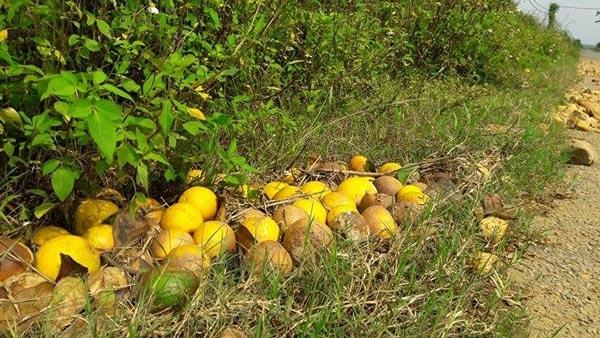 Bất lực nhìn cả nghìn quả cam Vinh rụng lả tả, thối nhũn vì mưa lũ - 5