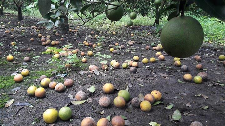 Bất lực nhìn cả nghìn quả cam Vinh rụng lả tả, thối nhũn vì mưa lũ - 6