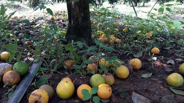 Bất lực nhìn cả nghìn quả cam Vinh rụng lả tả, thối nhũn vì mưa lũ - 7