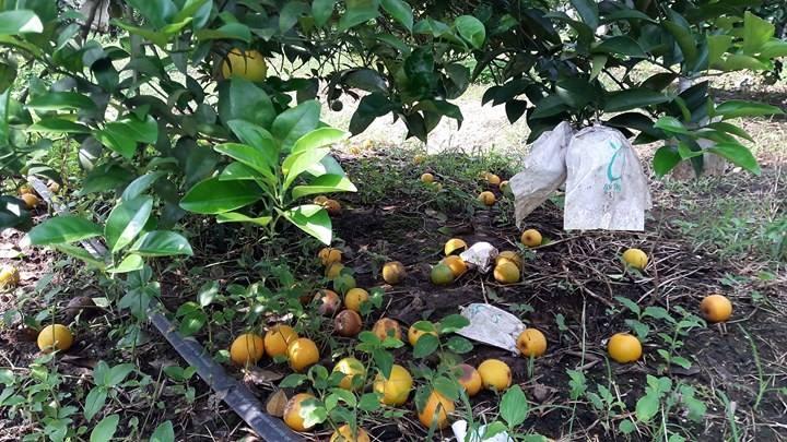 Bất lực nhìn cả nghìn quả cam Vinh rụng lả tả, thối nhũn vì mưa lũ - 8