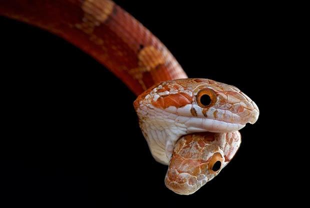 Kì dị 2 đầu trên một thân rắn cắn lẫn nhau tranh thức ăn - 1