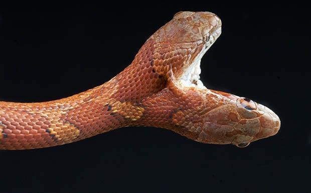Kì dị 2 đầu trên một thân rắn cắn lẫn nhau tranh thức ăn - 2