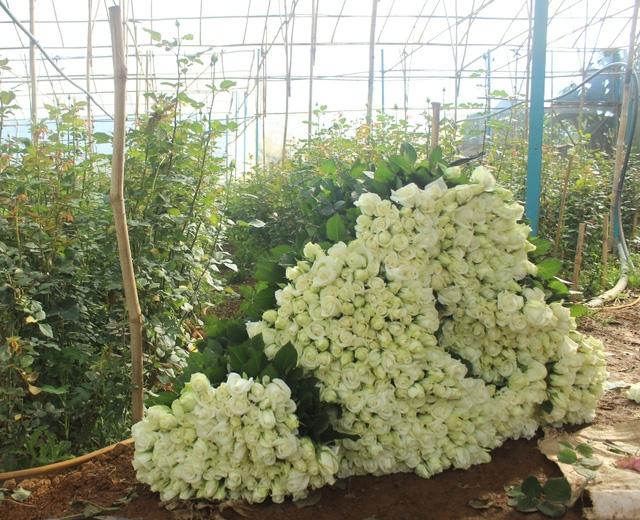 Nhà vườn thu hoạch hoa hồng để cung cấp cho thị trường dịp lễ 201/10