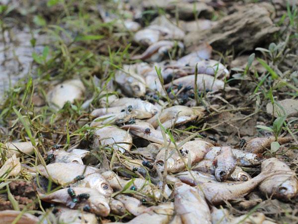 Video: Cá chết hàng loạt ở Quảng Ngãi, gà vịt ăn chết theo