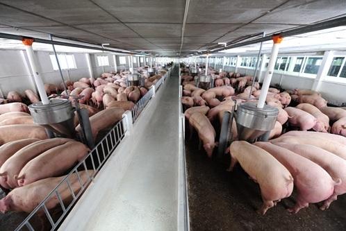 xuất khẩu thịt lợn, chăn nuôi lợn, xuất khẩu thịt lợn sang trung quốc, thịt lợn, xuất khẩu nông sản,